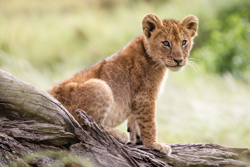 Lion cub in the Serengeti National Park