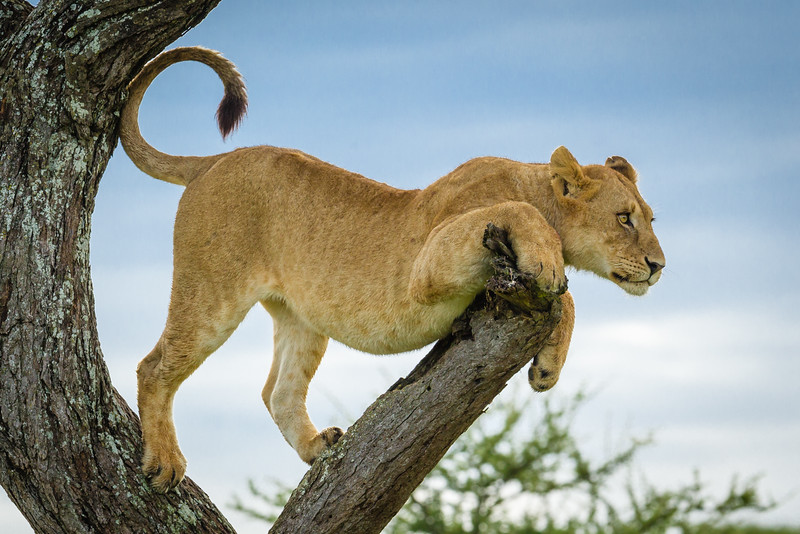 Arboreal lion in the Serengeti