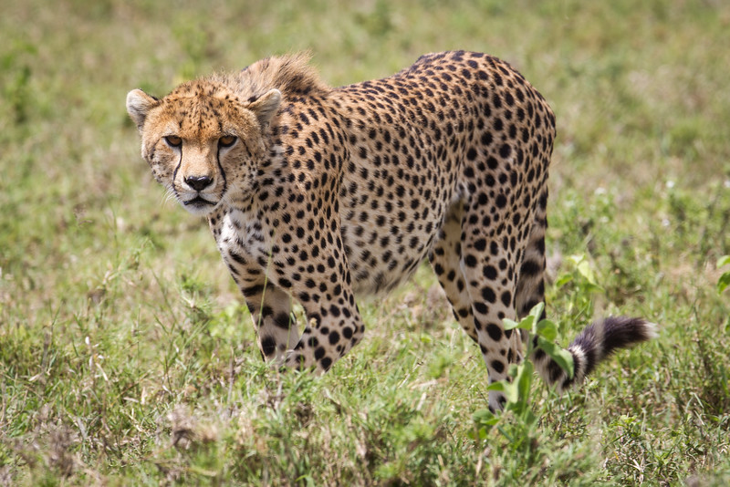 This cheetah was untroubled with our presence in the land cruiser. At one point, it even jumped onto the hood and surveyed its surroundings. Unfortunately, it jumped back down before I could change my lens to something that would focus more closely.