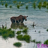 Following a Path from the Past - View from the historical Richardson Highway or Alaska Highway 4 of Moose grazing in backwaters of Delta River Valley near Donnelly between Fairbanks and Paxson (USA Alaska Donnelly; Obst FAV Photos 2011 Nikon D300 Image 0476)