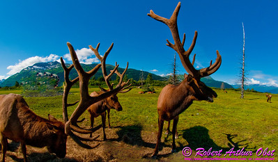 Hiker's view of a male reindeer or Rangifer tarandus or caribou along the trail within the Alaska Wildlife Conservation Center (USA Alaska Portage)