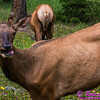 NE-Wildlife_8188_ATO.WestUSACanada2014-CAN.Alberta.Jasper.JasperNP.MaligneCanyon.MuleDeer-B (DSC_8188.NEF)