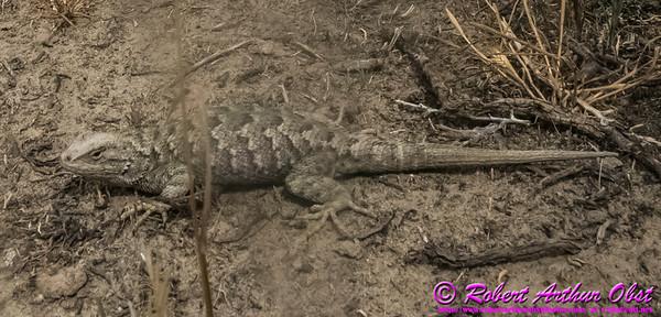 NE-AnimalsWild_6738_ATO.WestUSACanada2014-USA.ID.Eagle.MNSnakeRiverBirdsOfPreyNCA.DesertLizard-B (DSC_6738.NEF)