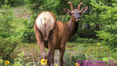 NE-Wildlife_8185_ATO.WestUSACanada2014-CAN.Alberta.Jasper.JasperNP.MaligneCanyon.MuleDeer-B (DSC_8185.NEF)