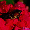Close-up photo of a black bettle on a red flower at sunset within Longenecker Gardens of the University of Wisconsin Madison Arboretum (USA WI Madison)