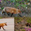 Red Foxes or Vulpes vulpes - one with a freshly caught meal - near Denali Park Road within Denali National Park (USA Alaska Denali Park)