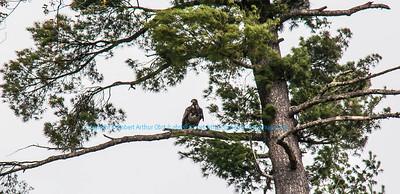 NE-Birds_7595_WRR-OutingsCK.USA.WI.Langlade.WolfRiver.S3.Between20DayAndBoyScoutRapids.Osprey-B (DSC_7595.NEF )