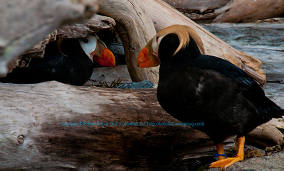Horned puffins staring contest at the Alaska Sealife Center within Seward and the Kenai Peninsula (USA Alaska Seward)