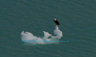 American Bald Eagle on an iceberg within John Hopkins Inlet and Glacier Bay National Park and Preserve (USA AK Gustavus)