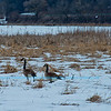 In Search for Spring - Cross country skier's view of Canada Geese searching over snowy marshlands for signs of spring and open water within Indian Lake County Park (USA WI Cross Plains; Obst FAV 2013 Photos Nature Enchanting D800 Image 8406)