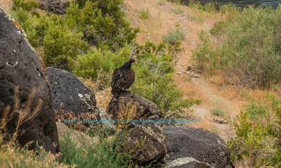 NE-Birds_6695_ATO.WestUSACanada2014-USA.ID.Eagle.MNSnakeRiverBirdsOfPreyNCA.Hiking.Turkeyvulture-U (DSC_6695.NEF)