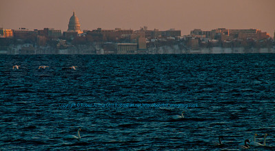 Cross country skiers winter late afternoon view south across Lake Mendota from Governor Nelson State Park of snow geese flying and of the State of Wisconsin Capitol of Madison  (USA WI Middleton; RAO 2013 Nikon D300s Image 4492)