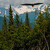 Snowy Mountains and an American Eagle soar over Evergreens and Fireweed near the Seward Highway and Turnagain Pass within the Kenai Peninsula of Alaska (USA Alaska Girdwood)""