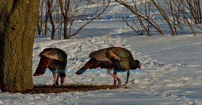 NE-Birds_8172_MMAO.USA.WI.Madison.UWMArboretum.CCSkiersView.TurkeysFeeding-B