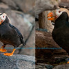 Puffins within the Alaska Sealife Center within Seward and the Kenai Peninsula (USA Alaska Seward)