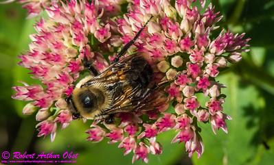 NE-BAI_9944_NE-AW.WRRBEM-USA.WI.Langlade.WRR.HoneybeeOnFlowerByWolfRiverRefuge-B (DSC_9944.NEF )