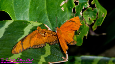 Carnal Knowledge of a Julia Butterfly or Dryas iulia also known as Julia Heliconian or The Flame or or Flambeau within Olbrich Botanical Gardens during 18 July to 12 August 2012 Blooming Butterflies (USA WI Madison)