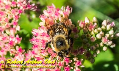 DBObst_9943_NE-AW.WRRBEM-USA.WI.Langlade.WRR.HoneybeeOnFlowerByWolfRiverRefuge-B (DSC_9943.NEF)