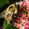 NE-BAI_9992_NE-AW.WRRBEM-USA.WI.Langlade.WRR.HoneybeeOnFlowerByWolfRiverRefuge-B (DSC_9992.NEF)