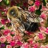 NE-BAI_9984_NE-AW.WRRBEM-USA.WI.Langlade.WRR.HoneybeeOnFlowerByWolfRiverRefuge-B (DSC_9984.NEF )