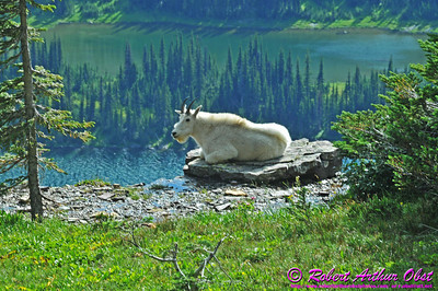Mountain Goat enjoying breathtaking views of Hidden Lake within Glacier National Park (USA MT)