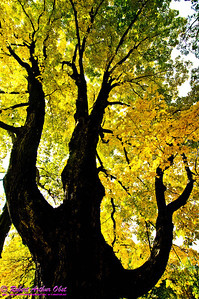 Autumn magic crowns gnarled Sugar Maple with yellow gold by East Bluff Trail in Devils Lake State Park (USA WI Baraboo)