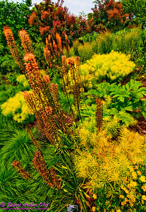 Gorgeous orange Cleopatra Foxtail Lily in Olbrich Botanical Gardens (USA WI Madison)