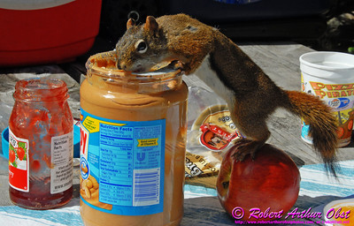 "Agile bold hungry ""Skippy Scrum"" squirrel gets a free lunch at our Rabbit Blanket Lake Camp (CAN ON Lake Superior Provencial Park)"