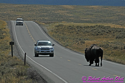 Please Yield to American Bison in Yellowstone National Park ! (USA WY Hayden Valley Grand Loop Rd.)