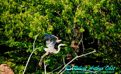Great Blue Heron in flight over the verdure shores of Section 2 of the wild Wolf River (USA WI White Lake)