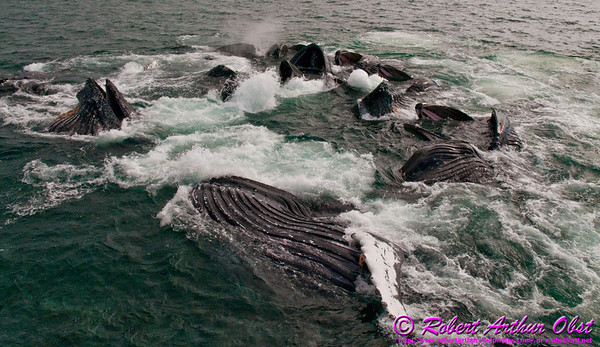 Seakayaker's view of Humpback whales bubble net feeding within the Lynn Canal near Auke Bay of the Pacific Ocean (USA Alaska Juneau)