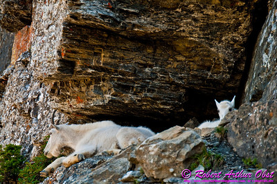 Hikers and Bird's Eye View of Mountain Goat Mother Guarding her Child by the Highline Trail within Glacier National Park (USA MT West Glacier)