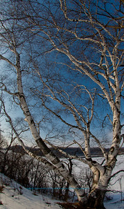 Cross country skier's view of blue skies over a paper birch tree or Betula papyrifera by frozen Indian Lake within Indian Lake County Park (USA WI Cross Plains; 2013 Obst FAV Nature Enchanting Flowers Forests Foliage Image 7793)