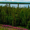 Fireweed and Willow Lake and evening light frames Mount Drum and Mount Wrangell within Wrangell-St. Elias National Park and Preserve (USA Alaska Copper Center)