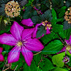 Gorgeous magenta Clematis  in a flower Garden by the Wild Wolf River within the Wolf River Refuge (USA WI White Lake)