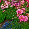 Chuckles Floribunda Rose in Olbrich Botanical Gardens (USA WI Madison)