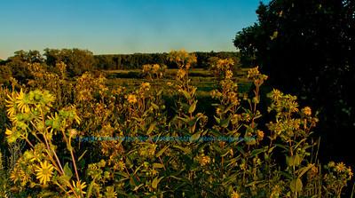 Flowers of Prairie Overlook at sunset near Longenecker Gardens within the University of Wisconsin Madison Arboretum (USA WI Madison)
