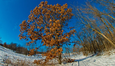 Cross country skiers view of evening sun under clear skies over a majestic oak or Quercus within Owen Conservation Park (USA WI Madison; Obst FAV Photos 2013 Nikon D800 Image 7397)