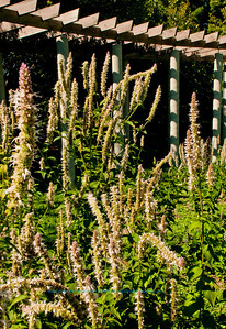 Aromatic Giant hyssop or Agastache scrophularlaefolia plants attract nectar loving insects during the summer within Longenecker Gardens of the University of Wisconsin Madison Arboretum (USA WI Madison)
