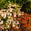Rhododendron orange Spicy Lights Azalea and other Azaleas explode with colour during springtime within Longenecker Gardens of the University of Wisconsin Madison Arboretum (USA WI Madison)