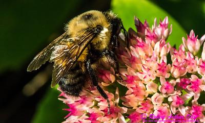 NE-MAM_9993_NE-AW.WRRBEM-USA.WI.Langlade.WRR.HoneybeeOnFlowerByWolfRiverRefuge-B (DSC_9993.NEF)