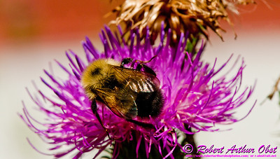 Honey bee on a Common Thistle by the Wild Wolf River within the Wolf River Refuge and northeastern Wisconsin (USA WI White Lake)