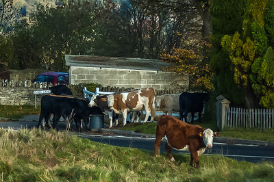 The cattle are lowing 3-7990-2.jpg