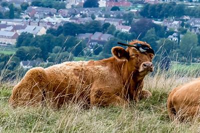 Cow peckers-9234.jpg