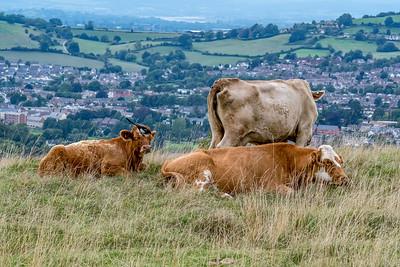Cow peckers-9229.jpg