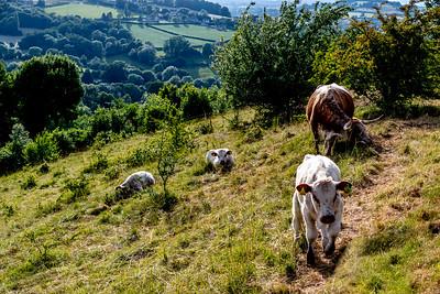 Longhorn and calves-5381.jpg