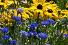 D201-2012 Maize and Blue (Black-eyed Susans and Cornflowers, or Bachelors Buttons)<br /> .<br /> Matthaei Botanical Gardens, Ann Arbor, Michigan.<br /> July 20, 2012.<br /> (nex5n)