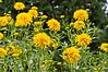 D207-2012 Cut-leaf Coneflower, Rudbeckia laciniata 'Golden Glow'<br /> .<br /> Matthaei Botanical Gardens, Ann Arbor, Michigan<br /> July 26, 2012<br /> (nex5n)