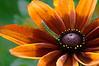 D207-2012 Rudbeckia, given a filter treatment.<br /> .<br /> Matthaei Botanical Gardens, Ann Arbor, Michigan<br /> July 26, 2012<br /> (nex5n)