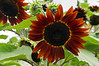 D207-2012 Sunflowers<br /> .<br /> Matthaei Botanical Gardens, Ann Arbor, Michigan<br /> July 26, 2012<br /> (nex5n)